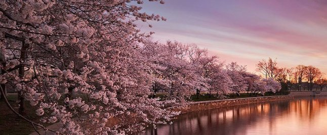 cherry-blossoms-national-festival